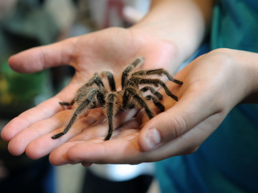 tarantula in hands prevent treat bites