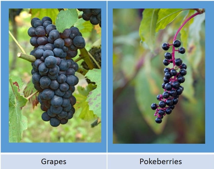 grapes pokeberries