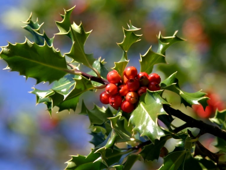 Para los pájaros: Red-Berried Trees, Shrubs & amp; Viñas