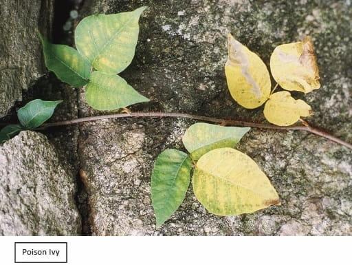 Poison Ivy, Poison Oak and Poison Sumac