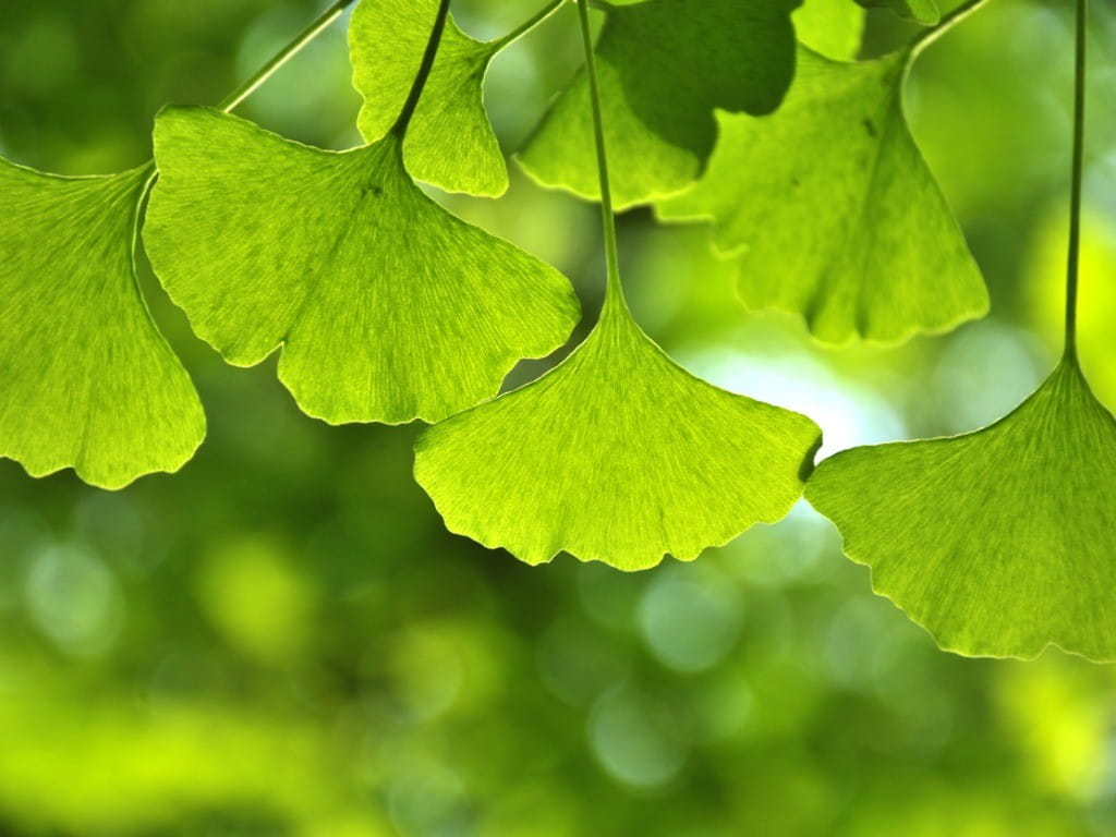ginkgo biloba tree leaves risks benefits
